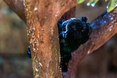 Schwarzer Affe auf Baum Lizenzfreie Stockfotos