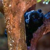 Schwarzer Affe auf Baum Lizenzfreies Stockbild