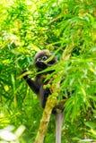 schwarzer Affe in den Blättern des Baums sammelt Lizenzfreie Stockbilder