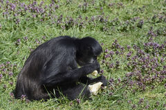 Schwarzer Affe, der Banane im Zoo isst Stockfotos