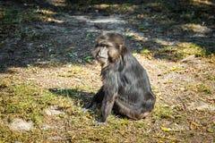 Schwarzer Affe, der Sie betrachtet Lizenzfreie Stockfotografie