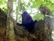Schwarzer Affe des Babys auf Baum Stockfotografie