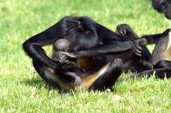 Schwarzer Affe mit Jungem Stockfoto