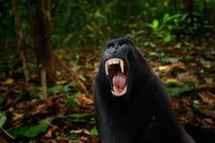 Schwarzer Affe mit offenem Mund mit dem großen Zahn, sitzend im Naturlebensraum Celebes erklomm Makaken, Macaca Nigra in den trop Stockfotos