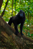 Schwarzer Affe mit offenem Mund mit dem großen Zahn, sitzend im Naturlebensraum, dunkler tropischer Wald Celebes erklomm Makaken, Lizenzfreies Stockfoto
