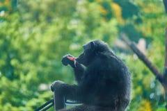 Schwarzer Affe sitzen und genießen, Blume auf bokeh Hintergrund zu essen Stockbilder