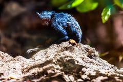 Schwarzer Affe Tamarin Stockfoto