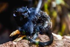 Schwarzer Affe Tamarin Lizenzfreies Stockbild