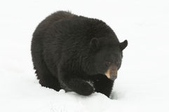 Schwarzer amerikanischer Bär Lizenzfreies Stockfoto