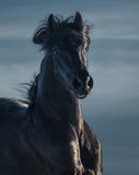 Schwarzer andalusischer Hengst - Porträt in der Bewegung Stockbild