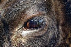 Schwarzer Angus Cow, Abschluss oben auf Auge Porträt reflektierend lizenzfreie stockbilder