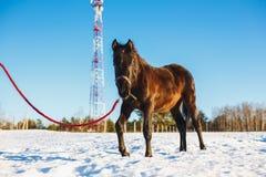 Schwarzer arabischer Hengst, der in den Schnee auf einem Gebiet geht lizenzfreies stockfoto