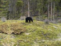 Schwarzer Bär. Stockbild