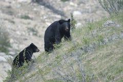 Schwarzer Bär. lizenzfreies stockfoto