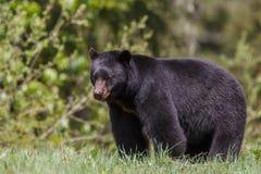 Schwarzer Bär Stockfotografie