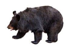 Schwarzer Bär Lizenzfreie Stockbilder