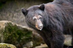 Schwarzer Bär Lizenzfreies Stockfoto