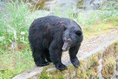 Schwarzer Bär Stockfoto