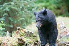 Schwarzer Bär Lizenzfreies Stockbild