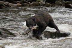 Schwarzer Bär, Alaska Stockbild
