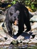 Schwarzer Bär Alaskas, der nach Fischen sucht Stockbild