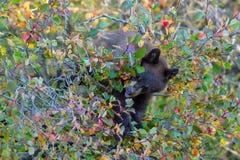 Schwarzer Bär balanciert im Baum, der Beeren isst Lizenzfreie Stockfotos