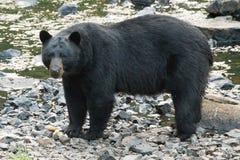 Schwarzer Bär bei der Kreuzung des Flusses lizenzfreie stockfotos
