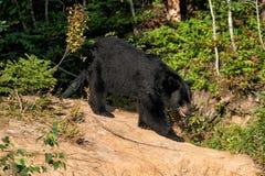 Schwarzer Bär beim Essen stockbilder