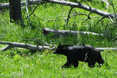 Schwarzer Bär, der auf einem Gebiet geht Lizenzfreie Stockbilder