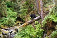 Schwarzer Bär, der auf gefallenen Baum geht Stockbilder