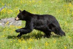 Schwarzer Bär, der durch Feld des grünen Grases und des gelben wildf läuft Lizenzfreies Stockfoto