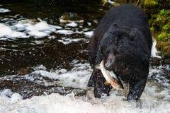 Schwarzer Bär, der einen Lachs in Alaska isst stockbilder