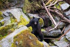 Schwarzer Bär, der oben auf einen Felsen springt Lizenzfreies Stockbild