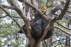 Schwarzer Bär in einem Baum Lizenzfreie Stockfotografie