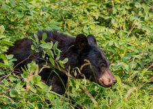 Schwarzer Bär geht durch starke Büsche Lizenzfreie Stockbilder