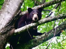 Schwarzer Bär im blauen Ridge Stockfotografie