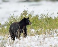 Schwarzer Bär im Schnee Lizenzfreies Stockbild