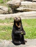 Schwarzer Bär im Zoo Stockbilder