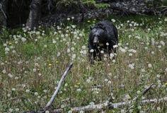 Schwarzer Bär isst Blumen Stockfotos