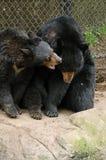 Schwarzer Bär möchte nicht gestört werden Stockfotos