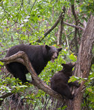 Schwarzer Bär mit Jungem Stockbilder