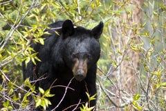 Schwarzer Bär unter Büschen Lizenzfreies Stockfoto