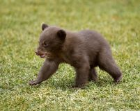 Schwarzer Bär (Ursus americanus) Cub in Bewegung Lizenzfreies Stockfoto