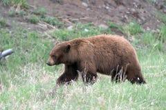 Schwarzer Bär in Yellowstone NP Stockbild