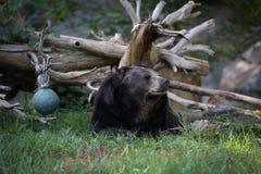 Schwarzer Bären-Stillstehen Lizenzfreies Stockbild