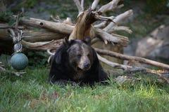 Schwarzer Bären-Stillstehen Stockfoto