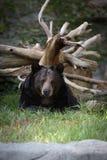 Schwarzer Bären-Stillstehen Lizenzfreie Stockfotos
