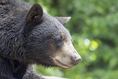 Schwarzer Bärn-Porträt-Nahaufnahme Amerikas Stockfotos