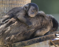 Schwarzer büscheliger capuccin Affe Stockfotografie