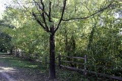 Schwarzer Baren-Baum Lizenzfreies Stockfoto
